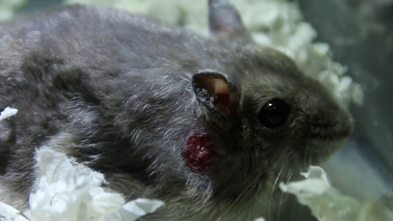 An 8-month-old hamster has wart and skin lump removal Part 1/2