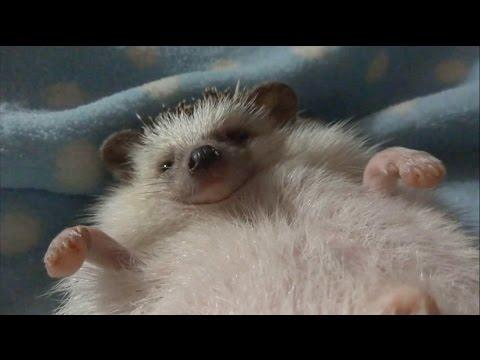 ハリネズミのえびす丸 028 フシュフシュ怒り状態からのうっとりマッサージ How to Give a Hedgehog Massage