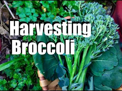 Harvesting Broccoli - When, How and TIps for Broccoli Flowers & Leaves
