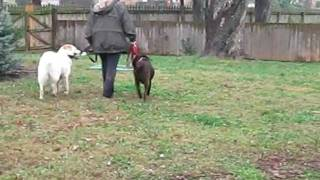 """Canine Ability Dog Training -- Reactive Dog, """"cheyenne"""" 1 Hour After Initial Session"""