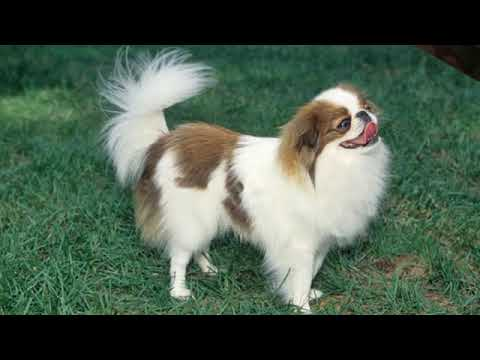 Japanese Chin - small dog breed