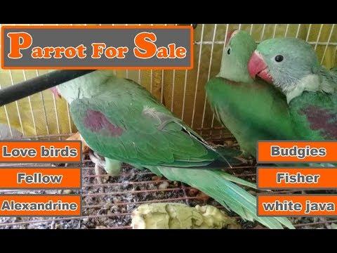 Junaid Farm House | Parrot For sale  Alexandrine Fellow Love birds Budgies Fisher