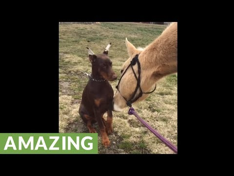 Doberman and horse share very special friendship
