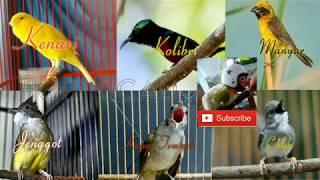 Masteran Burung Kenari Kolibri Manyar Jenggot Lovebird Kapas Tembak dan Ciblek