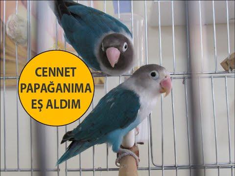 Cennet Papağanıma Yeni Eş Aldım