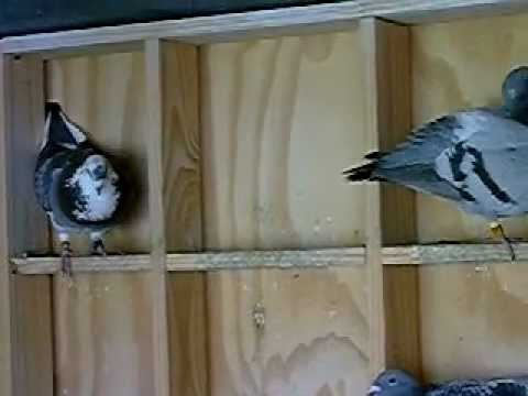 Racing Pigeons during the off-season, inside the loft of Ian Adriaanse, Paarl, South Africa