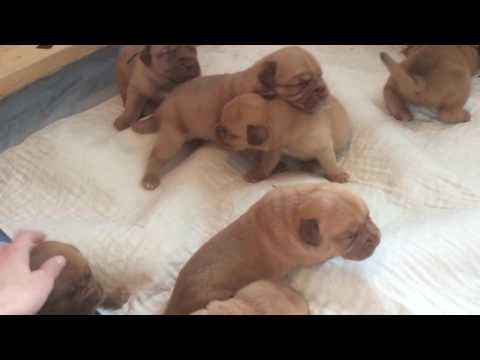 Dogue de Bordeaux Pups 2.5 Weeks Old