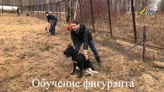 Собака для охраны, ЗКС, порода кане корсо, пробуждение агрессии