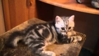 Купить шотландского короткошерстного котенка