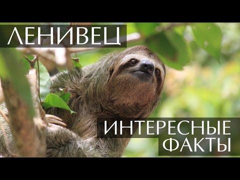 Вопрос: Что дает ленивцам их замедленное состояние, в чем смысл?