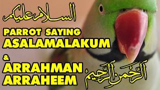 Talking Parrot in Urdu/Hindi/Arabic | Asalamalakum | Arrahman Arraheem | Bolne Wala Tota