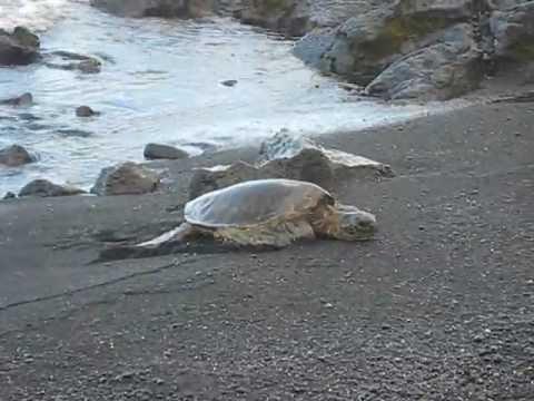 Sea Turtles At Punalu
