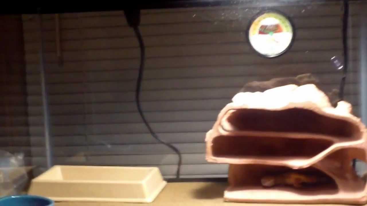 leopard gecko petco youtube