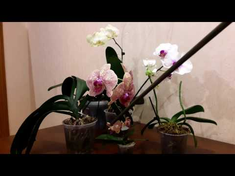 Можно пересадить орхидею во время цветения?