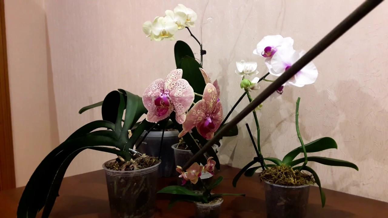 Орхидея уход в домашних условиях полив орхидей