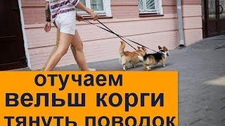 Тянет поводок? Отучаем. Самые главные моменты по отучению собаки тянуть поводок
