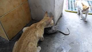Video Cat catches a rat download MP3, 3GP, MP4, WEBM, AVI, FLV Desember 2017