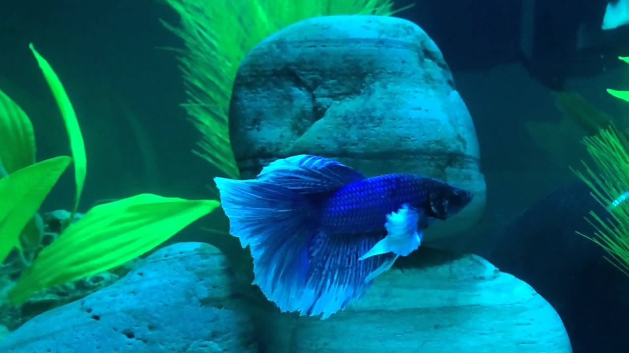 Elephant ear betta fish names best elephant 2017 for Betta fish names male blue