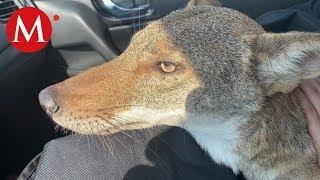 Mujer confunde a un coyote con un perro y lo rescata