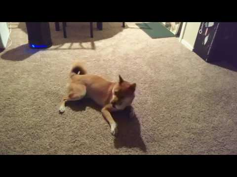 Glitch the Shiba Inu loves his squeaky ball!