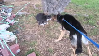 Атака бесхвостого кота