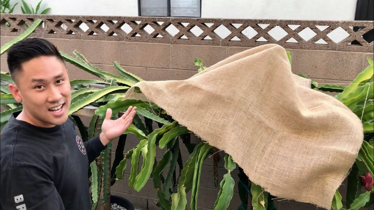 How to Protect Dragon Fruit From Heat Wave