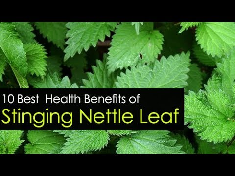 10 Stinging Nettle Leaf Benefits for Skin, Hair & Health