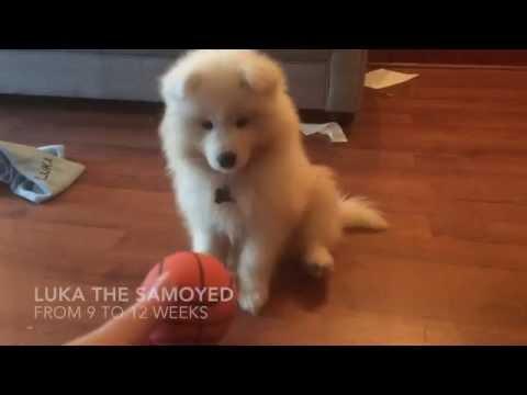 Luka - Samoyed puppy 9-12 weeks old