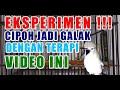 Moncer Cipow Ku Jadi Galak Agresif Gimana Dengan Sirtu Kamu  Mp3 - Mp4 Download