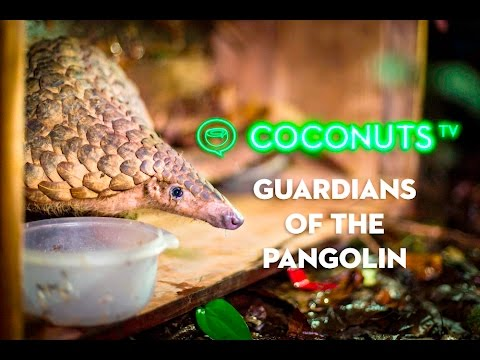 Guardians of the Pangolin: The fight to save the world's most trafficked animal
