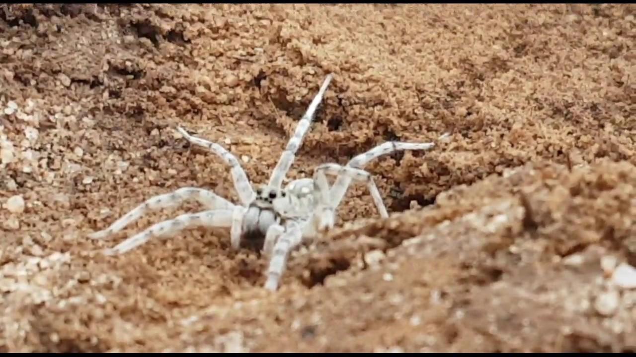 Beautiful White Spider - Huntsman or Wolf Species? Great Southern - Western  Australia - Help Id!