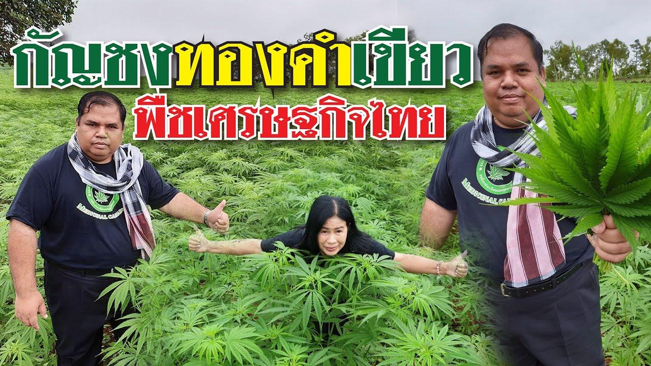 """กัญชง""""ทองคำเขียว""""พืชเศรษฐกิจของเกษตรกรไทย"""
