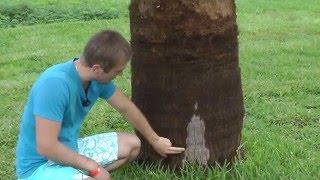 Пальма это трава, а не дерево!