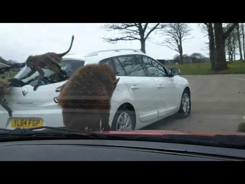 Roaming animals. Knowsley Safari zoological Park. Liverpool