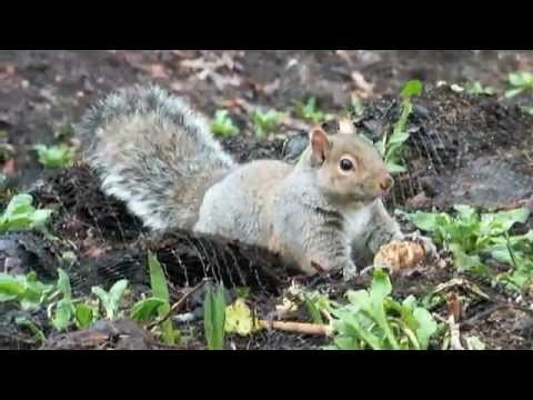Squirrel Straggling To Eat A Tulip Bulb Cute And Funny Youtube