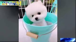 The Cutest Mini Pomeranian Dog You Ever See Anjing Mini Pomeranian Paling Lucu Dan Imut Youtube
