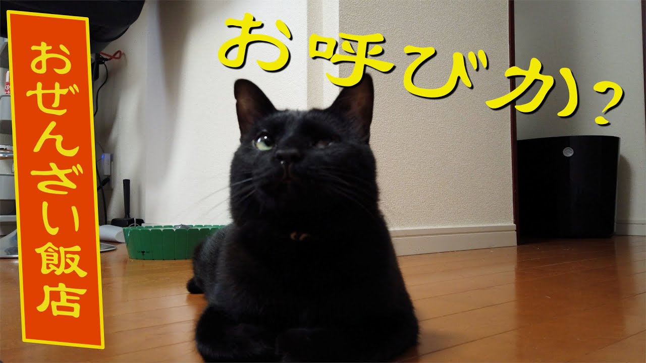 【#おぜんざい飯店】ちゃんと返事ができる猫 Super cat