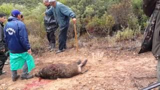Chasse au sanglier à Benslimane-Maroc Faisan doré (Sanglier abattue 01)