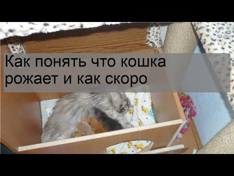 Как понять что кошка рожает и как скоро