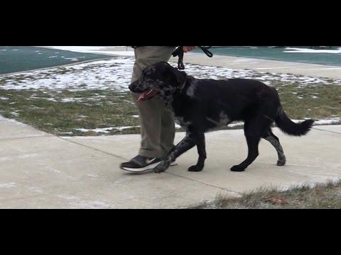 Best Dog Training in Columbus, Ohio! 9 Month Old Great Dane/Australian Shepherd Mix, Barkley!