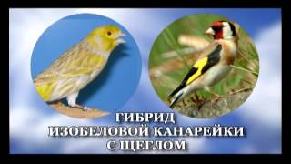 Канарейки, шеглы - гибрыды Касымова. TAJIKISTAN(фильм)