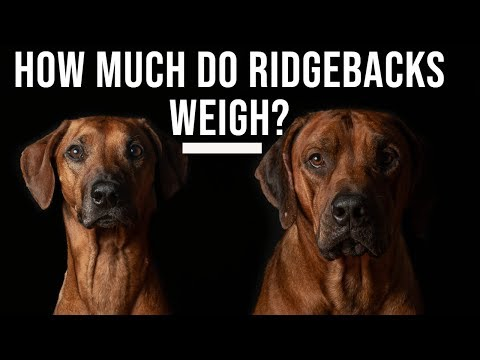 How Much Do Rhodesian Ridgebacks Weigh?