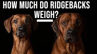 How Much Do Rhodesian Ridgebacks Weigh?