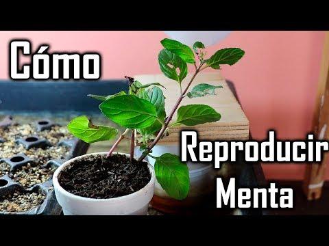Reproduccion asexual plantas por raices