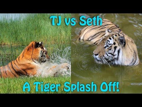 Tiger vs Tiger - The Ultimate Splash Off