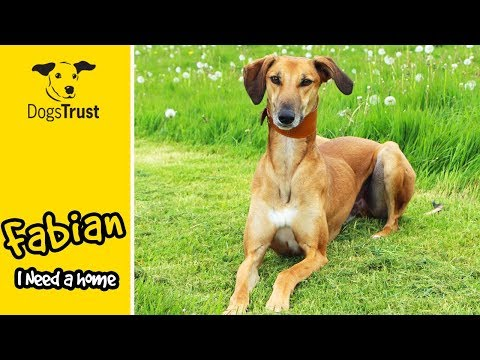 Fabian is a Stunning Saluki Searching for a Forever Home   Dogs Trust Darlington