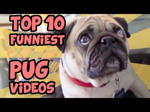 Top 10 Funniest Pug Videos Of All Time Youtube