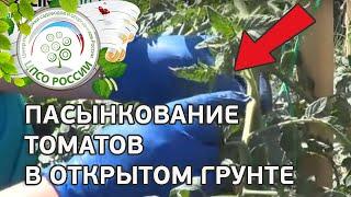 Как пасынковать томаты. Формирование томатов в открытом грунте.(В этом ролике - видео инструкция по формированию томатов в открытом грунте. Как правильно пасынковать томат..., 2015-06-10T10:46:50.000Z)