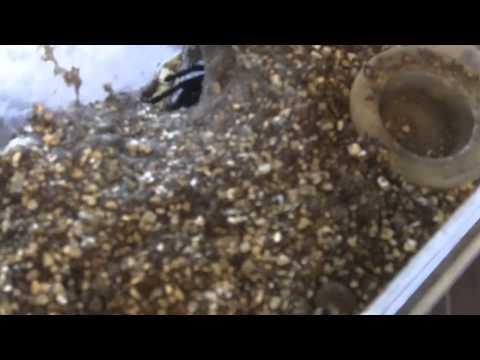 Tarantula Mythbuster Video 6: Detailed Vid of Cobalt Blue (H.lividum)