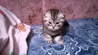 Милейшее видео. Шотландский вислоухий котёнок!